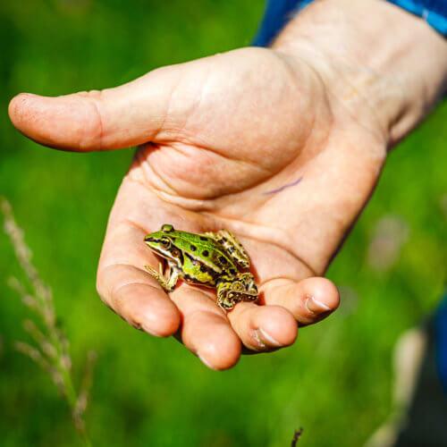 Im Zuge der Klimaerwärmung trocknen nasse Lebensräume in der Schweiz zunehmend aus. Das bedroht die Existenz vieler Amphibien, wie etwa von diesem Teichfrosch. Darum ist es wichtig, vorhandene Teiche und Tümpel regelmässig zu unterhalten und wo notwendig zu sanieren. Bild: ANJF, Nicolas Zonvi